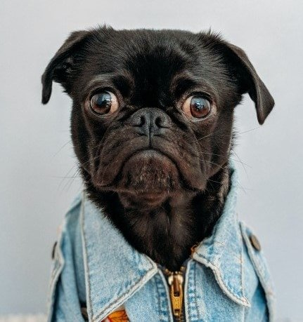 Black pug in denim jacket staring with big eyes and ears drooping down